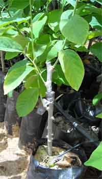עץ מורכב במשתלה - משך גידול ארוך ועלויות עבודה יבואו לידי ביטוי במחיר הסופי של העץ.