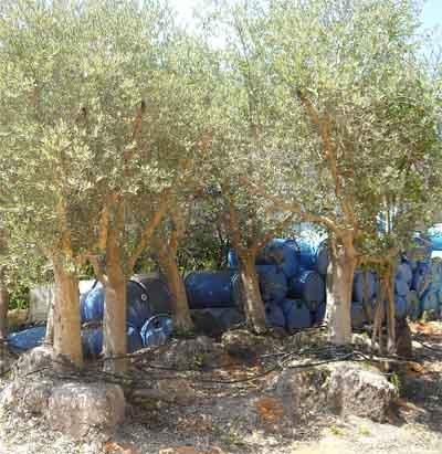 תמונה של עצי זית בוגרים באיקלום לאחר עקירה