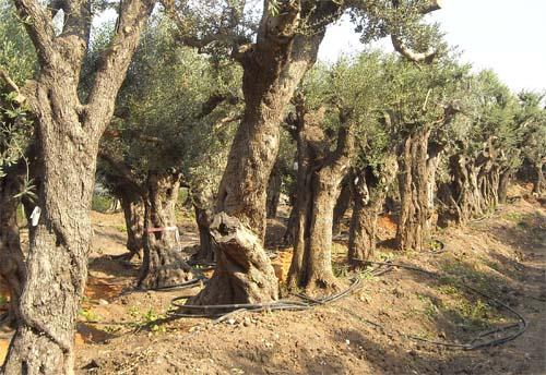 עצי זית עתיקים שהנם חסכוניים במים ועמידים למיעוט משקעים